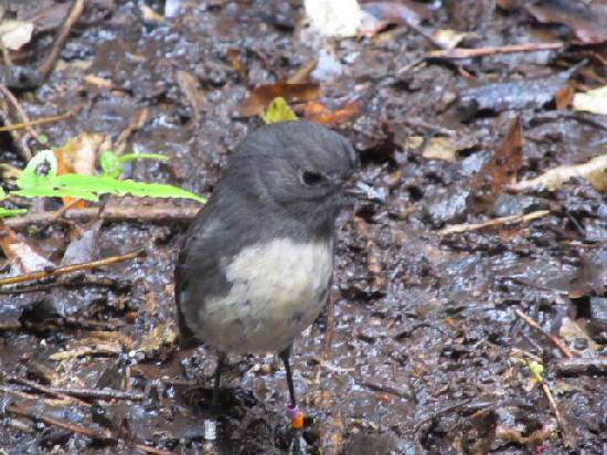 Stewart Island Robin, seen on Ulva Island