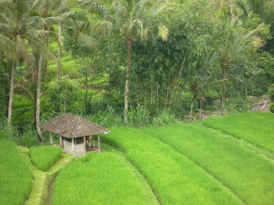 Jatiluwih Green Land: Jatiluwih