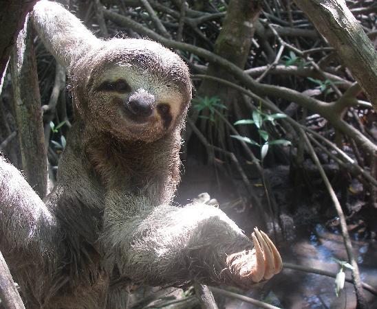 Pineapple Tours : 3-toed sloth saying hi!