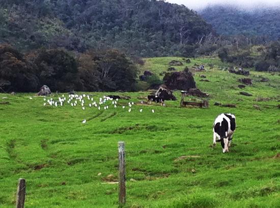 Kinabalu Pine Resort : cow farm nearby