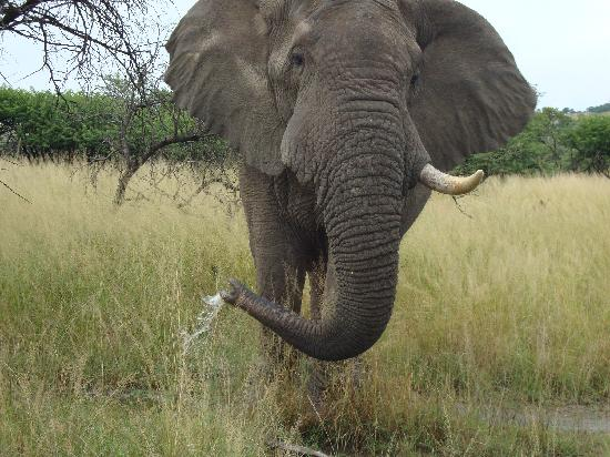 Nambiti Big 5 Private Game Reserve: Beefy the gentle elephant