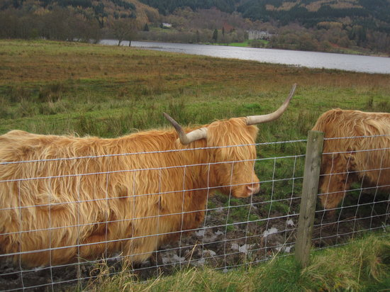 The Hairy Coo - Free Scottish Highlands Tour : Hielan' coos!
