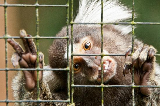 Zoo Ave: Mono brasileño