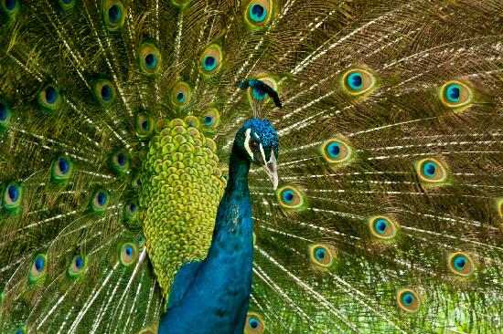Zoo Ave: Pavo Real