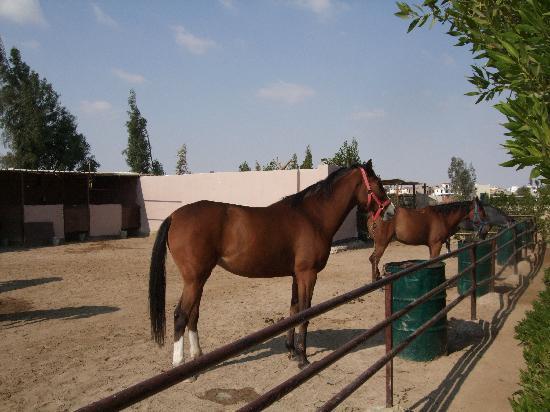 Horse Riding Hurghada: horses