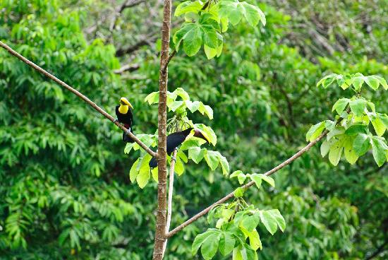 TikiVillas Rainforest Lodge: Wild toucans fly through the area on a regular basis; we saw two groups in one day.