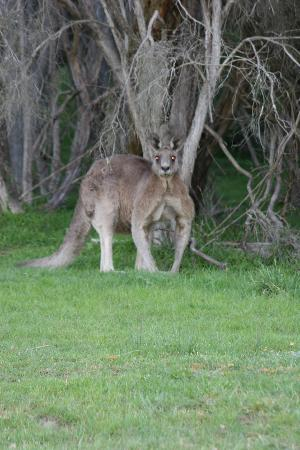 Yering Gorge Cottages: Our local Australian wildlife.