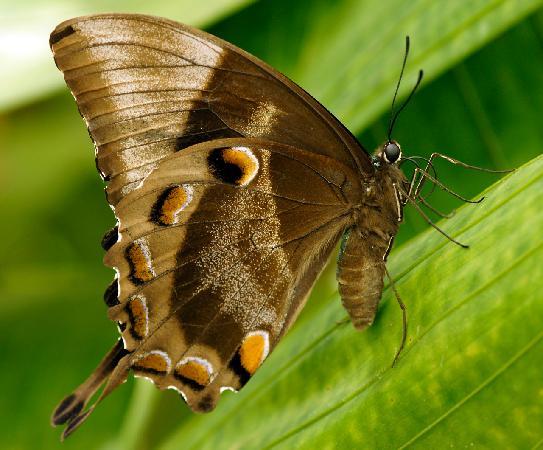 Kamerunga, Australië: Ulysses Butterfly