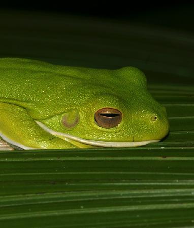 Kamerunga, Avustralya: White Lipped Tree-frog