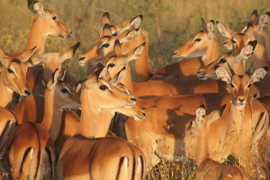 Serengeti National Park, Tanzania: Impalas gazing into an African sunet at Serengeti