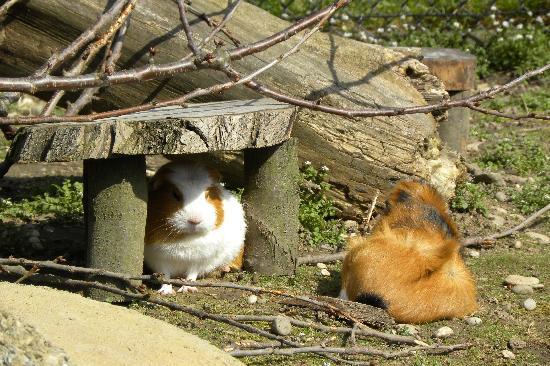 Tierpark Lange Erlen: Meerschweinchen für die Kleinen