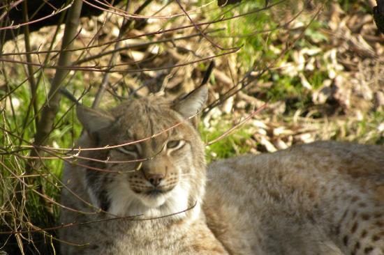 Tierpark Lange Erlen: auch der scheue Luchs ist zu sehen