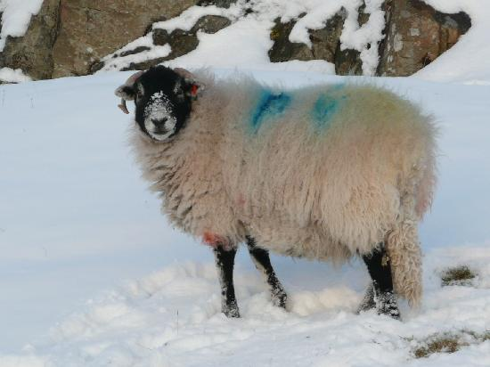 The Willows Bed & Breakfast: Our lovely village sheep