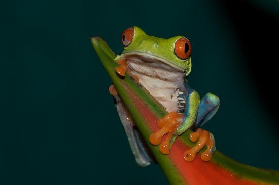 Sarapiqui, Costa Rica: Red Eyed Tree Frog
