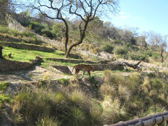 Pretoria, Afrika Selatan: Tiger