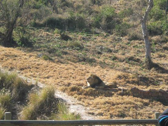 Pretoria, Afrika Selatan: Lion