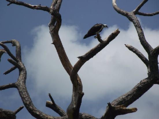 Bradenton, FL: Osprey
