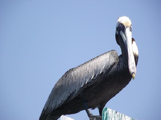 Bradenton, FL: Brown Pelican