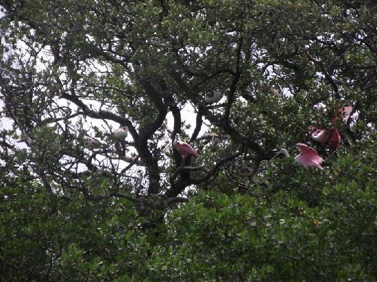 Bradenton, FL: Rosetta Spoonbills