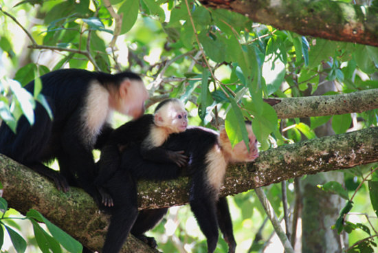 Ivantours Costa Rica and Panama Day Tours: Monkeys in Manuel Antonio National Park, Costa Rica