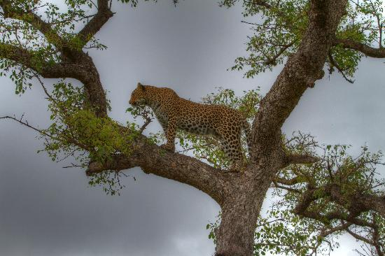 Ulusaba Private Game Reserve, Sydafrika: We had no idea what she was watching