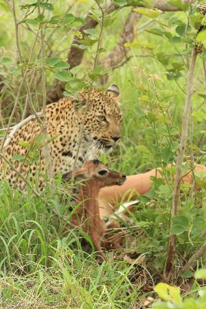 Ulusaba Private Game Reserve, Sydafrika: Mama is gone & baby not far behind, sad
