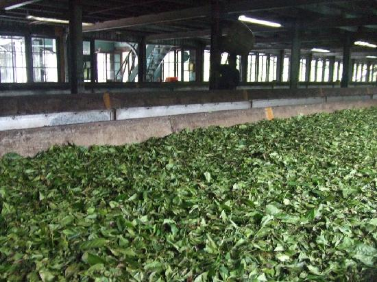 นูวาราเอลีอาและทีคันทรี: Tea leaves drying