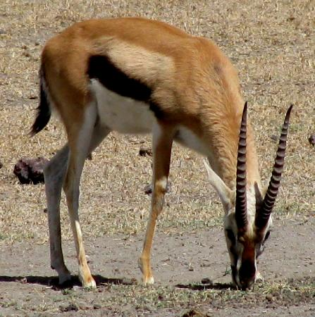 Ngorongoro Conservation Area, แทนซาเนีย: Thompson's Gazelle