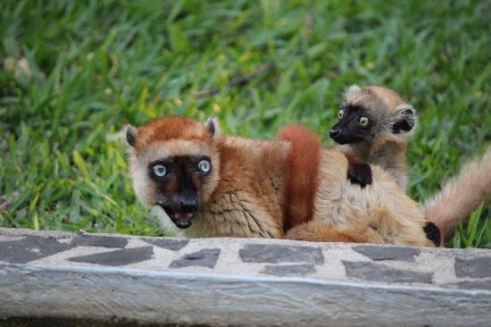 Andilana Beach Resort: Lemuri nel parco dell'hotel
