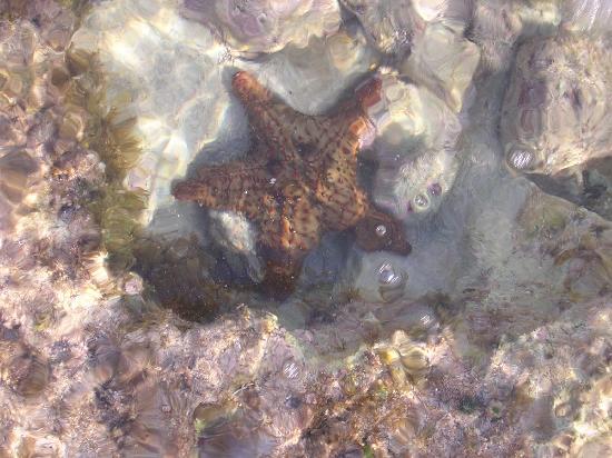 The Grand Mayan at Vidanta Riviera Maya: Starfish in the reef on beach