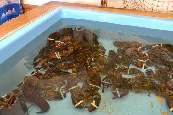 Falmouth Fish Market Inc.: Live lobsters