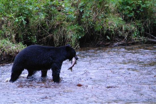 King Pacific Lodge: Mother bear with a snack
