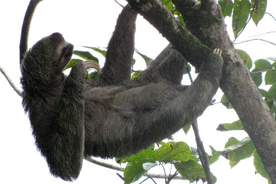 La Paloma Lodge: Our own personal 3-toed sloth!