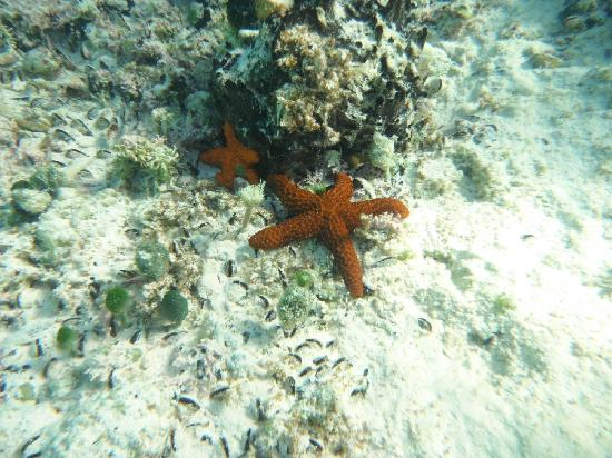 Hut Pointe Inn: Star fishes (snorkeling)