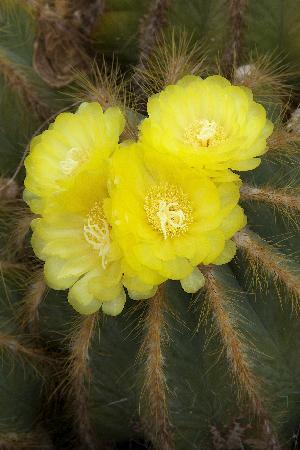 Corona del Mar, CA: cactus and succulents