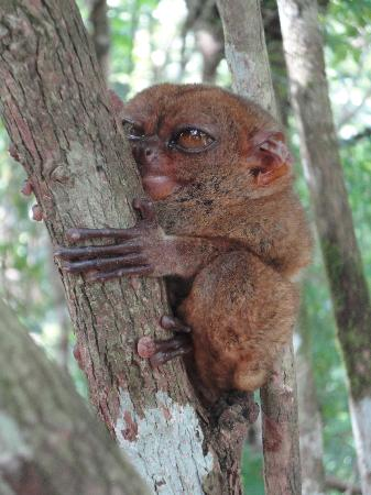 Amun Ini Beach Resort & Spa: A Tarsier, smallest monkey living in the local forests.