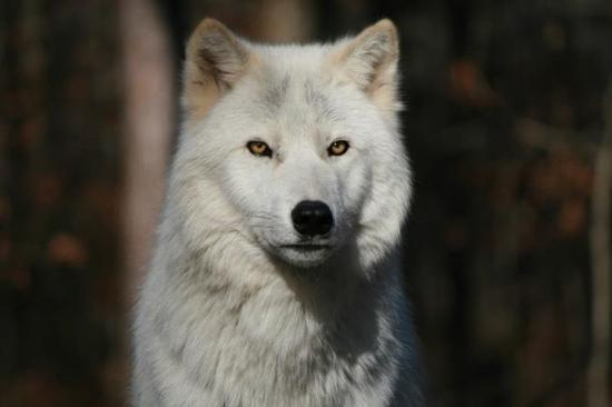 Lakota Wolf Preserve: Takaani's beautiful gold eyes