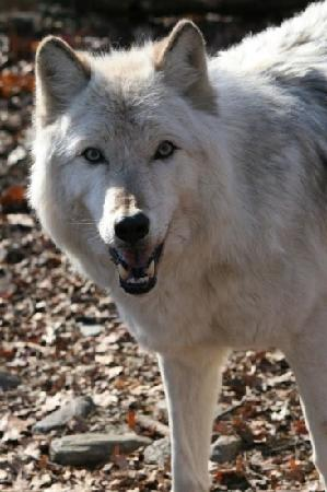 Lakota Wolf Preserve : Raven, the alpha of the pack