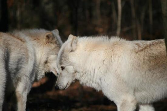 Lakota Wolf Preserve: wolf family