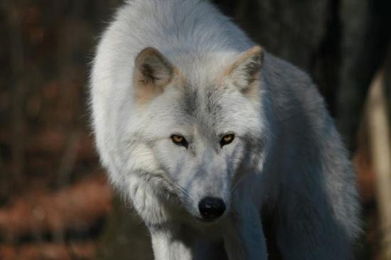 Lakota Wolf Preserve: Takaani is the word for wolf in Eskimo