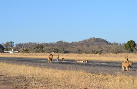Dulini River Lodge: Pride of Lions on Private Runway