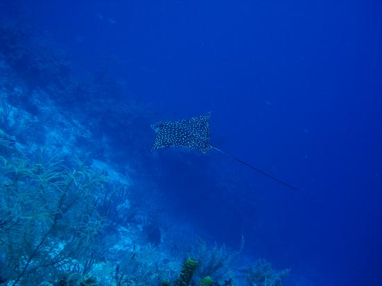 Turneffe Island Resort: Eagle Ray