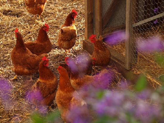 Southern Grampians Cottages: Free range hens