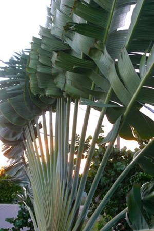 Casa Placencia Belize: Fan palm right off our balcony