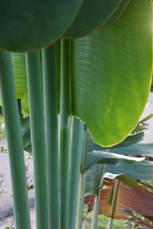 Casa Placencia Belize: Loved the sound of wind in the fan palm leaves