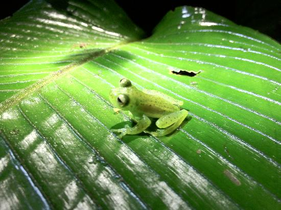 Villa Blanca Cloud Forest Hotel and Nature Reserve: Night Hike - Glass Frog