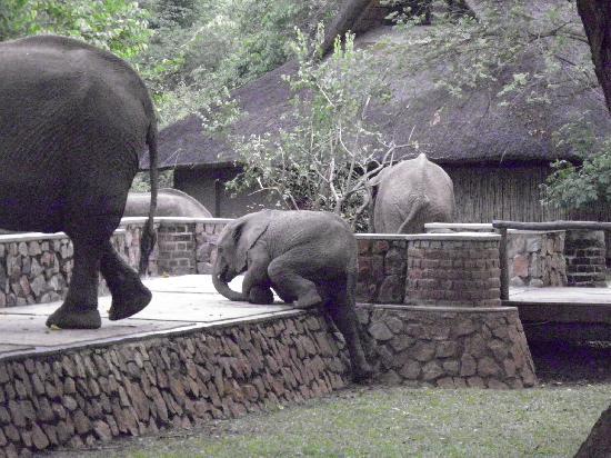 Mfuwe Lodge - The Bushcamp Company: Elephants at the Lodge