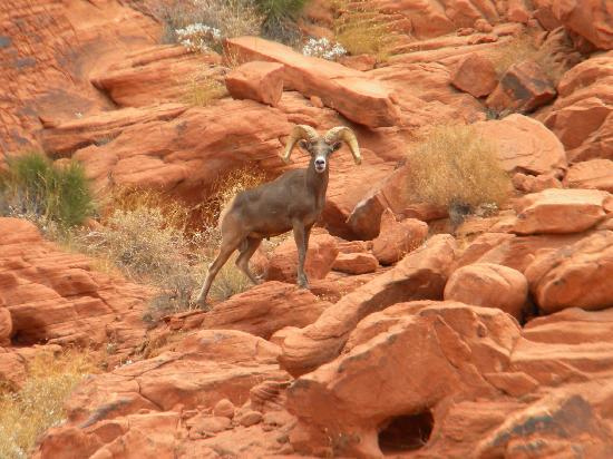 Valley of Fire State Park: Mountain Goat Close Up