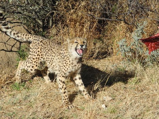 Leopard Lodge: Cheetah feeding time