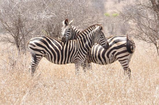 KwaMbili Game Lodge: Zebras